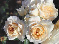 Lion's Fairy Tale (Palatine Roses) Type:Fairy Tale, Floribunda rose Fragrance:Scented rose Rose color:White, Near White or White Blend Breeder:Kordes, 2002 - Shrub form:Upright Aesthetic Roses, Nature Aesthetic, Romantic Roses, Beautiful Roses, Old Rose Color, Floribunda Roses, Rooting Roses, Hybrid Tea Roses, White Roses
