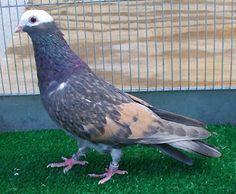 Catalonian Tumbler Pigeon