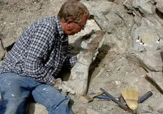 The upper arm bone of a Sauropod is carefully removed from the Fossil Discovery Trail at the Dinosaur National Monument (Utah) after an incident of vandalism left this fossil specimen in danger of breaking up.