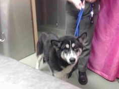 #FOUNDDOG 12-28-13 #DEVORE #CA FEMALE BLACK AND WHITE #AKITA #SIBERIANHUSKY MIX RESCUE ONLY BY 1/3/14 PTS DATE 1/4/14 ID:  A582531 ONE YEAR OLD 909-386-9820 https://www.facebook.com/photo.php?fbid=567357440015925&set=a.407457879339216.97606.118795328205474&type=1