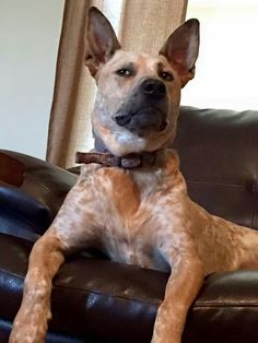 Talk about a great stink eye ; Austrailian Cattle Dog, Pug Beagle, Blue Heelers, Cattle Dogs, Dog Rules, Lhasa Apso, Bernese Mountain, Mountain Dogs, I Love Dogs
