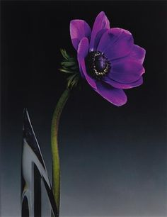 ROBERT MAPPLETHORPE  Anemone,1989.  Dye transfer print.One from an edition of 5.