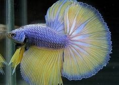 peixes ornamentais betta reprodução - Pesquisa Google