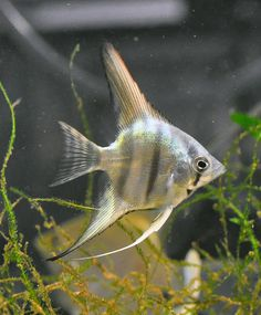Different Types of Freshwater Angelfish