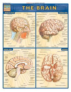 Complete, labeled illustrations of the parts of the brain in nine different views and sections. It includes detailed diagrams of: brain in place, lateral view, Brain Facts, Craniosacral Therapy, Human Anatomy And Physiology, Human Brain Anatomy, Brain Science, Body Anatomy, Brain Injury, Brain Tumor, Body Systems