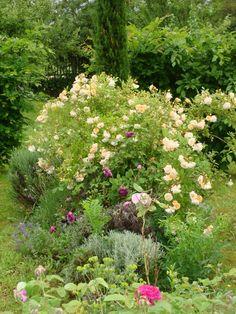 merci gaspard ! : Rose ancienne en buisson Ghislaine de Féligonde