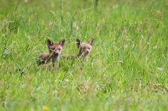 Baby Red Foxes (Vulpes vulpes) exploring the world.  koenfrantzen.com
