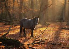 The New Forest Pony is one of the recognised native pony breeds of the British Isles.Height varies from around 12 hands (48 inches) to 14.2 hands (58 inches); ponies of all heights should be strong,workmanlike, and of a good riding type.They are valued for hardiness, strength, and surefootedness.The breed is indigenous to the New Forest in Hampshire in southern England,where equines have lived since before the Ice Age; remains dating back to 500,000 BC have been found.