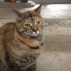 Domestic Shorthair Torti Sophie #cat