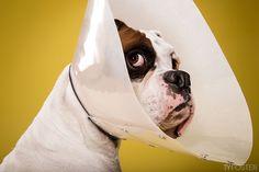 El cono de la vergüenza con más arte y humor: Ty Foster capta la frustración de los perros | SrPerro.com, la guía para animales urbanos.