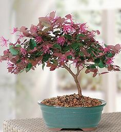 Fringe Flower Bonsai  An explosion of vivid pink to maroon blossoms covers the Chinese Fringe Flower in May and appears as tiny, random exclamation points later in the season. Deep purple leaves, arranged along spreading horizontal branches, make this bonsai attractive throughout the year.