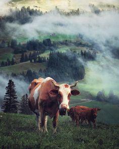 Cow, Hiking, Colours, Autumn, Nature, Animals, Fall, Animais, Naturaleza
