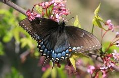 Spicebush Swallowtail Images