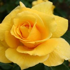 """Midas Touch™, Very fragrant, striking golden yellow 4"""" blooms (petals 20+) on a well branched upright bush. A rose of exceptional vigor and non stop masses of bloom. An 'All-American' winner. Semi-glossy dark green foliage on a continual blooming plant."""