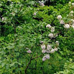 Fruit Tree Nursery, Plum Tree, Hardy Plants, Fruit Trees, Permaculture, Lilac, Herbs, Syringa Vulgaris, Herb