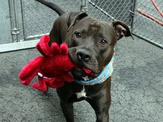 GONE 4/26/2015 --- Manhattan Center JENSEN - A1033943  MALE, GRAY / WHITE, PIT BULL MIX, 2 yrs STRAY – EVALUATE, NO HOLD Reason STRAY Intake condition EXAM REQ Intake Date 04/21/2015