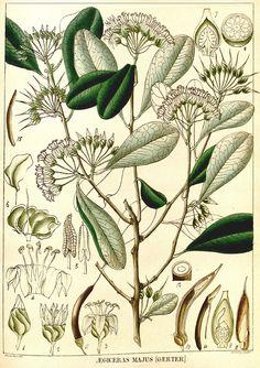 Aegiceras majus: R. Wight 2 (1850).