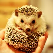 such a cute hedgehog!!! (too bad this NPR story is about some of them carry salmonella)