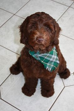 Mocha--no question a doodle! Types Of Small Dogs, Mocha, Labradoodles, Goldendoodles, Cute Dogs, Dogs And Puppies, Cute Animals, Pets, Angels