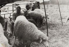 Dojenie oviec na poludnie - fotoarchív:Ján Mikuš Krdaj - asi 1980