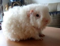 This is a merino guinea pig. You can spin yarn from his fleece. I want one...