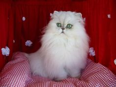 PersianCat Breed Profile - Breed Information with Description & Photos - #typeofcats - See more stunning picture of Cat Breeds at Catsincare.com!