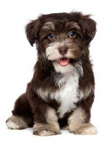 The Havanese is a lapdog, performer, and companion. Friendly, loving and happy, the Havanese loves to play with its owners and other animals. Havanese Puppies For Sale, Havanese Dogs, Dogs And Puppies, Cockapoo, Really Cute Puppies, Cute Little Puppies, Cute Dogs, Big Dogs, Dog Cat
