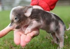 one day i will have a mini pig. lexaberry one day i will have a mini pig. one day i will have a mini pig. Adorable Cute Animals, Cute Baby Animals, Animals Beautiful, Animals And Pets, Funny Animals, Farm Animals, Small Animals, Cutest Animals, Wild Animals