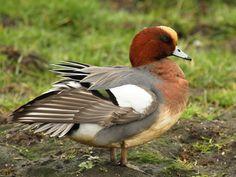 Eurasian Wigeon  2/3/14 Samish Flats- Skagit Wildlife Refuge- Skagit, WA