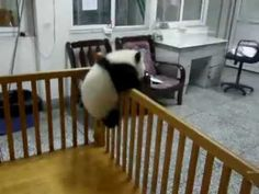 Baby Panda Tries To Escape