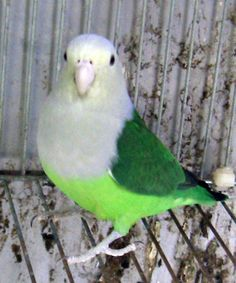 Grey-headed Lovebird or Madagascar Lovebird (Agapornis canus). 13 cm (5 in) long. Mostly green with darker green on back, pale grey beak. Sexual dimorphism: male has a grey upper body, neck and head. Range: Madagascar.