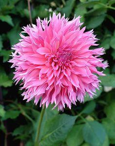 Dahlia Sheila Young - B Fake Flowers, Exotic Flowers, Tropical Flowers, Pretty Flowers, Zinnias, Pansies, Begonia, Summer Plants, Dahlia Flower