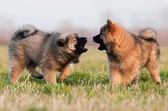 Eurasier puppies playing in the grass. Dog Vs Dog, Baby Dogs, Dog Mom, Puppy Socialization, Reactive Dog, Puppy Stages, Akc Breeds, Puppy Classes, Puppy Biting