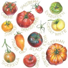 Tomatoes. Illustrated by Annie Stanford