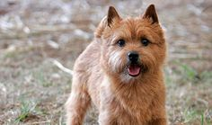 <3 <3 <3 <3 Norwich Terrier!