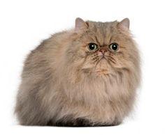 Persian Cat Facts