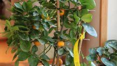 A citromfa kiválóan érezheti magát, ha nem tesszük ki a téli hidegnek. Bőségesen virágzik és méretes, ízletes gyümölcsöt is terem, ha nemes citrommal szemezzük.