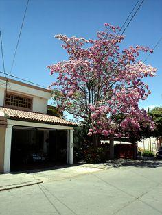 El lapacho rosado (Tabebuia impetiginosa, sinónimo T. avellanedae) es un árbol nativo de América, donde crece desde el norte de Argentina hasta México; actualmente se distribuye principalmente en Bolivia y el noroeste argentino.