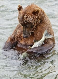 Kodiak Bear..../ So full he fell asleep in the river with a snack tucked under an arm. Fishing is hard work.
