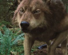 Broken [Twilight:Jacob Black] - Five Twilight Wolf Pack, Twilight Jacob, Gifs, Lobos Gif, Twilight Outfits, Pikachu Drawing, Supernatural Beings, Wolf Love, Big Bad Wolf