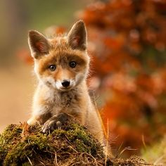 ...and here is a phenomenally cute fox cub in an autumnal background