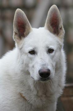 white shepherd | Tumblr