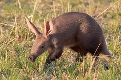 A is for Aardvark by Thomas Retterath It is for sure the sighting of a lifetime. I´ll bet, I´ll never get to see such an animal in the wild again. Our guide saw such an animal only once. Animals Beautiful, Cute Animals, Wild Animals, Baby Animals, Funny Animals, Nocturnal Mammals, Animal Pictures, Cute Pictures, Parrot Fish