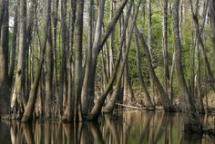 """Drive a couple of hours to the east and you'll be in the Beaumont, Texas area, home to Steinhagen Lake.  Formerly called """"Dam B"""", it's an Army Corps of Engineers project.  You'll start finding swampy areas in the SE section of the state -  including some of my favorite Alligator farms."""