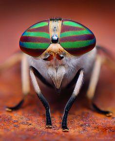 Macro photograph of female Striped Horse Fly (Tabanus lineola) (Photographer Thomas Shahan) Macro Fotografie, Fotografia Macro, Macro Photography Tips, Insect Photography, Microscopic Photography, Photography Flowers, Photography Lighting, Cool Insects, Bugs And Insects