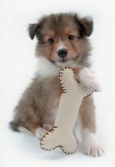 Toy+Sheltie | Sheltie pup with his toy bone
