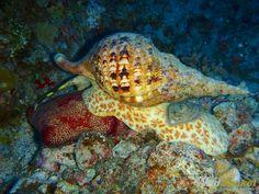 Giant Triton Sea Snail