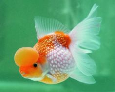 Crown pearlscale fancy goldfish