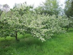 Quinces in blossom. Grown in Somerset, our Quince Cheese is the perfect addition to your cheeseboard Somerset, Cheese, Nature, Flowers, Plants, Naturaleza, Florals, Plant, Off Grid