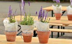 coltivare lavanda in vaso